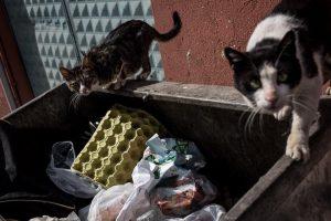 katten zoeken voedsel in vuilcontainer